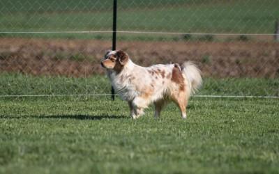 Mon chien ne tient pas ses départ en concours